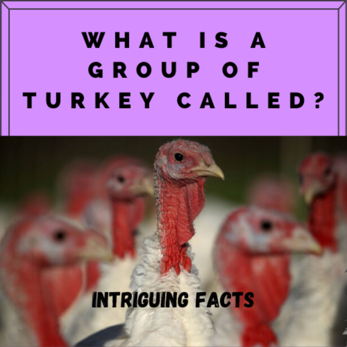 What Is A Group Of Turkeys Called Turkey Power Pestclue