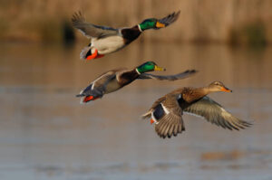 What Is A Group Of Ducks Called Facts About Duck Group Pestclue